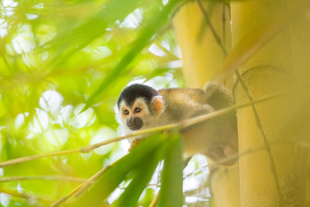 monkey pic costa rica